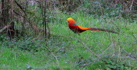 golden pheasant, China, China wildlife, China birds, China wildlife images, golden pheasant images, pheasant, pheasant pictures, Asia wildlife