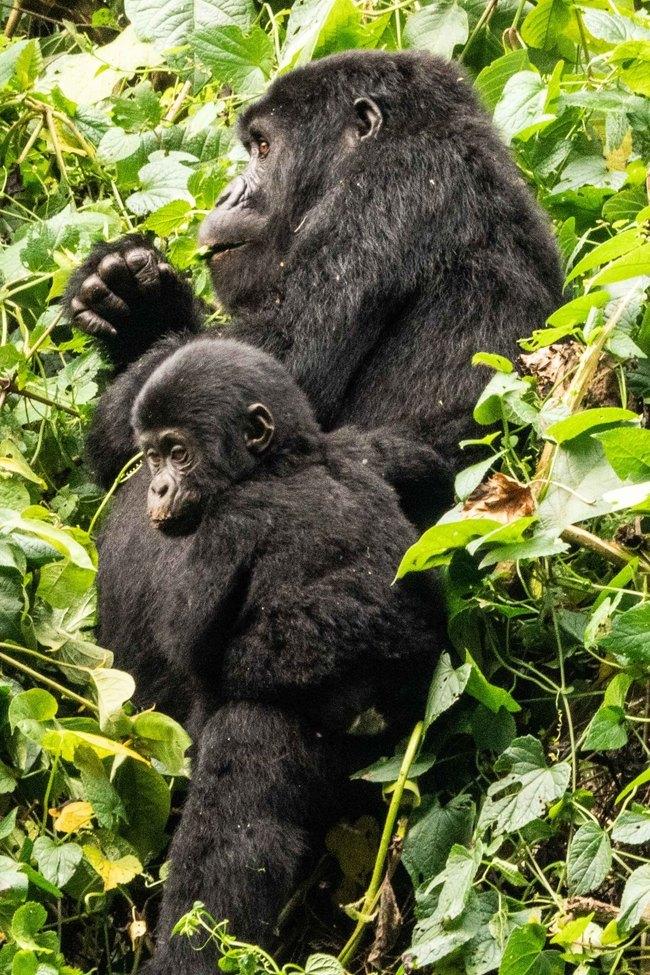 Gorilla, Gorillas, Uganda. Gorilla Family, Images of Gorillas, Gorilla Photos
