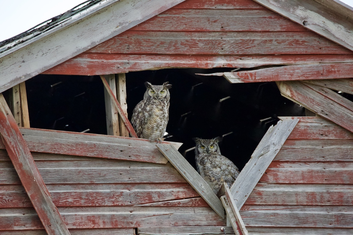 Owls, Owl, Great Horned Owls, Great Horned Owl, Alberta, Canada Photos of Owls, Owl Images