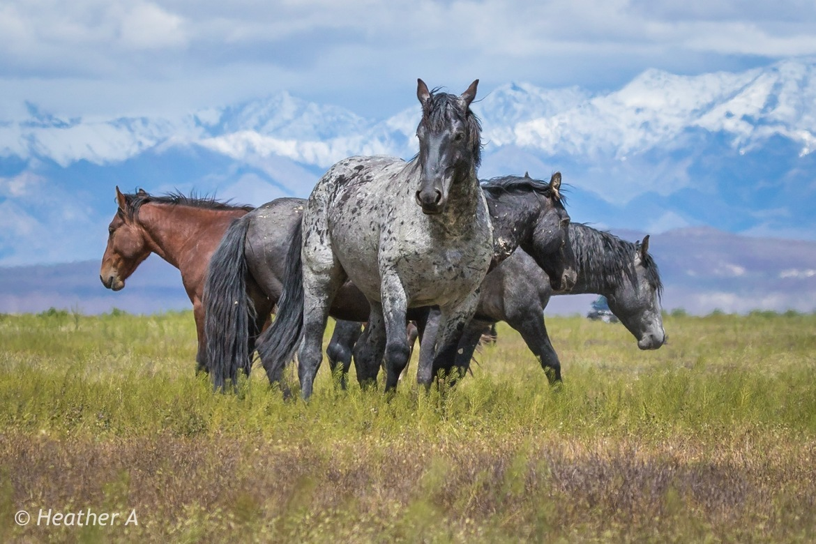 Horses, Wild Horses, Onaqui Mountains, Utah, Photos of Wild Horses, Wild Horse Images