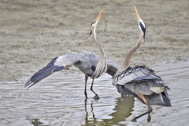Herons, Blue Herons, Canada, Images of Blue Herons, Blue Heron Photos, Birding