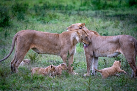 Lion, Lions, Lion Cubs, Kenya, Photos of Lions, Lion Images