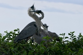 Heron, Herons, Great Blue Herons, Florida, Heron Photos Images of Great Blue Herons