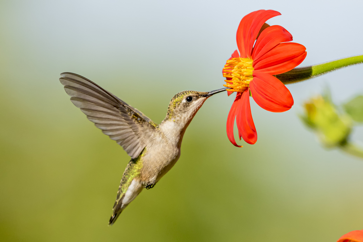 Hummingbird, Hummingbirds, Arizona, Photos of Hummingbirds, Hummingbird Images, Birding