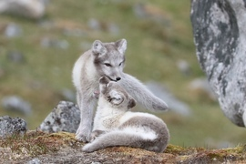 Arctic Fox, Fox, Foxes, Arctic Foxes, Svalbard, Images of Arctic Foxes, Arctic Fox Photos