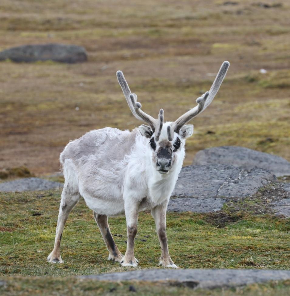 Reindeer, Svalbard, Norway, Images of Reindeer, Reindeer Photos