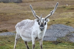 Reindeer, Svalbard, Norway, Images of Reindeer, Reindeer Photos
