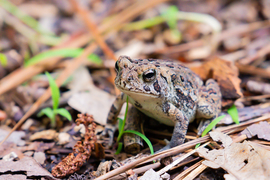 Toad, Toads, Delaware, American Toad, Photos of Toads, American Toad Images
