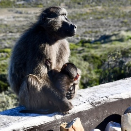 Baboon, Baboons, Africa, Images of Baboons, Baboon Photos,