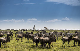 Giraffes, Giraffe, Wildebeest, Masai Mara, Great Migration, Photos of Giraffes, Giraffe Images