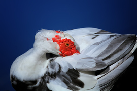 Muscovy Duck, Duck, Ducks, Florida, Images of Muscovy Ducks, Muscovy Duck Photos