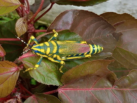 Grasshoppers, Grasshopper, India, Images of Grasshoppers, Grasshopper Photos