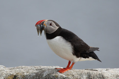 Puffin, Puffins, Birding, Iceland, Images of Puffins, Puffin Photographs, Iceland Birds, Vigor Island