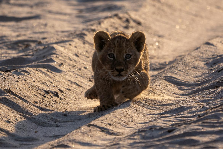 Lion, Lion Cub, Lions, Zimbabwe, South Africa Lions Photos of Lions, Lion Images