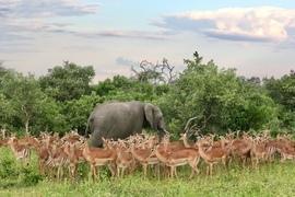 Elephant, Elephants, Impalas, South Africa, Botswana, Okavango Delta,