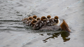 Common Merganser, Mergansers, Merganser, Ducks, Photos of Mergansers, Merganser Images, Canada