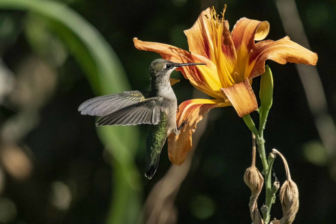 Hummingbirds, Hummingbird, Arizona, Hummingbird Photos, Images of Hummingbirds