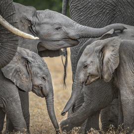 Elephants, Elephant, Botswana, Images of Elephants, Elephant Photos