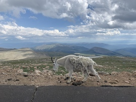 Mountain Goat, Goat, Mountain Goats, Colorado, Photos of Mountain Goats, Mountain Goat Photos