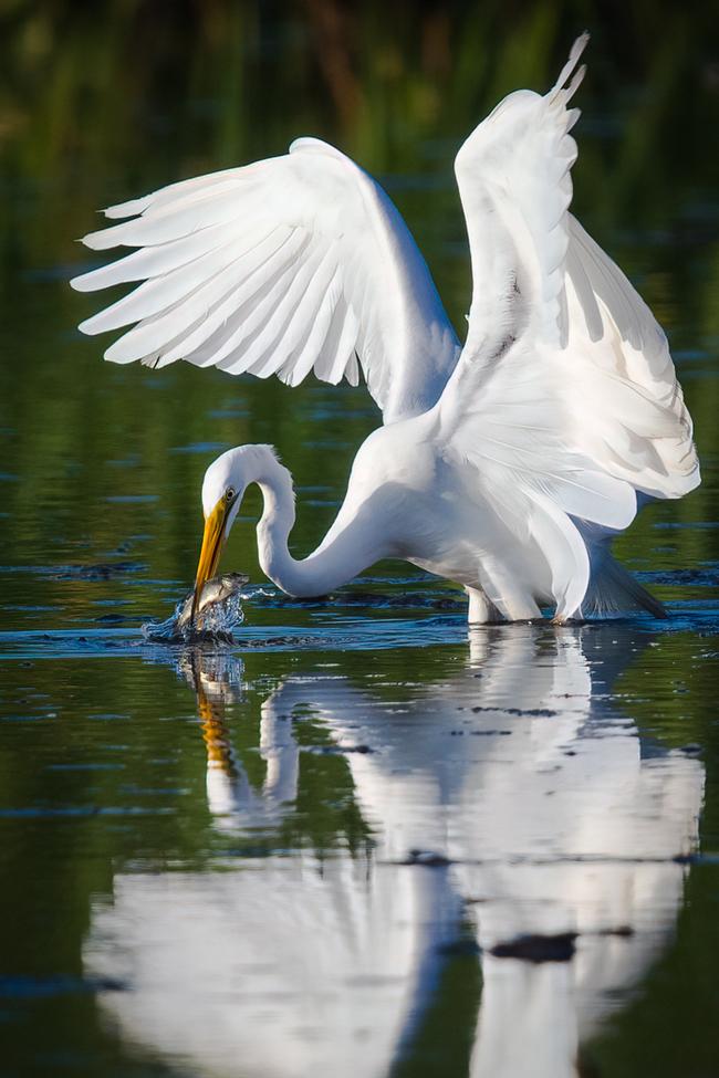 Egrets, Egret, White Egret, White Egrets, Photos of White Egrets, White Egret Images, Horseshoe Lake