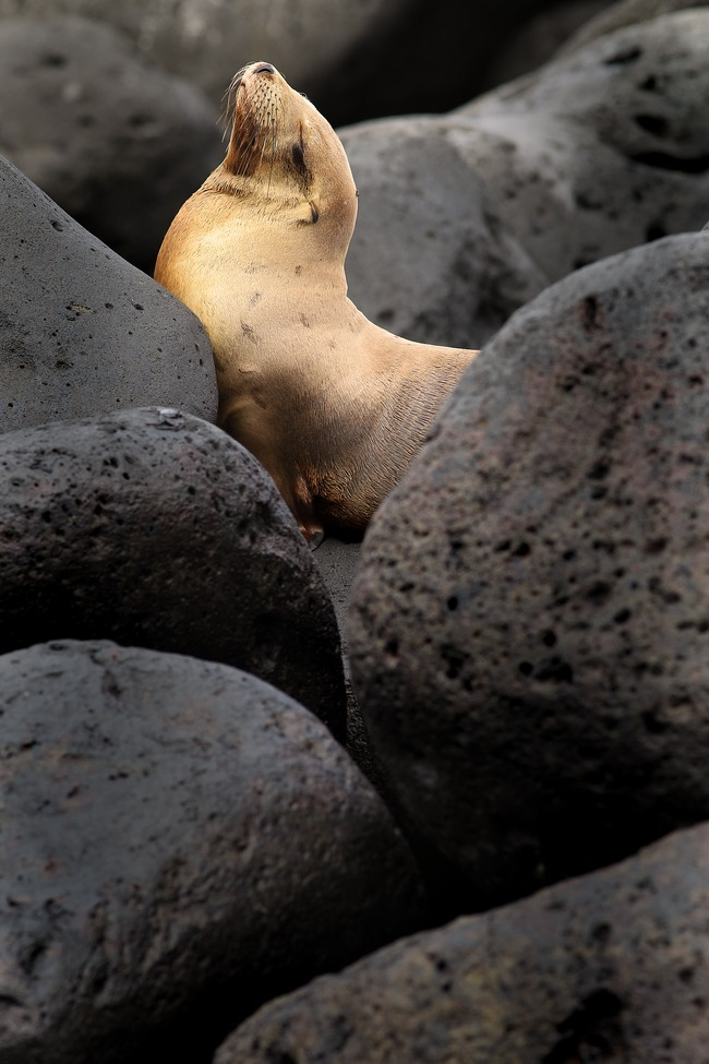 sea lion, galapagos islands, galapagos wildlife, seal lion images, sea lion pictures, galapagos images, galapagos pictures, galapagos wildlife images