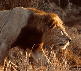 Lion, Lions, South Africa, Images of Lions, Lion Photos, African Lions
