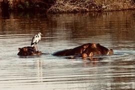 Hippo, Hippopotamus, South Africa, Hippopotamus Images
