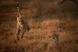 Cheetahs, Cheetah, South Africa, Photos of Cheetahs, Cheetah Images,