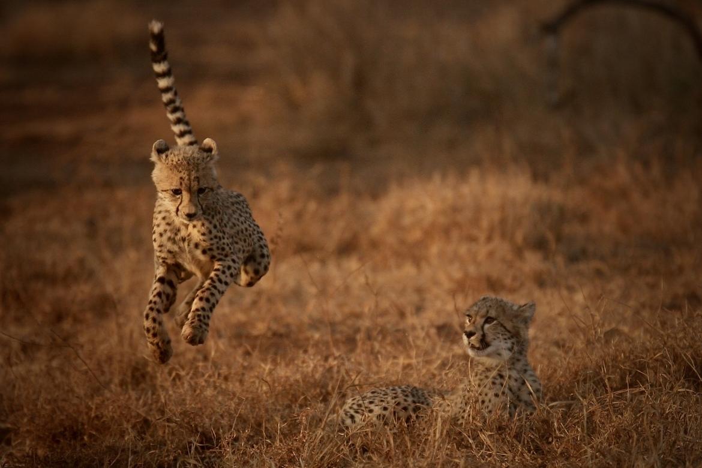 Cheetahs, Cheetah, South Africa, Photos of Cheetahs, Cheetah Images,