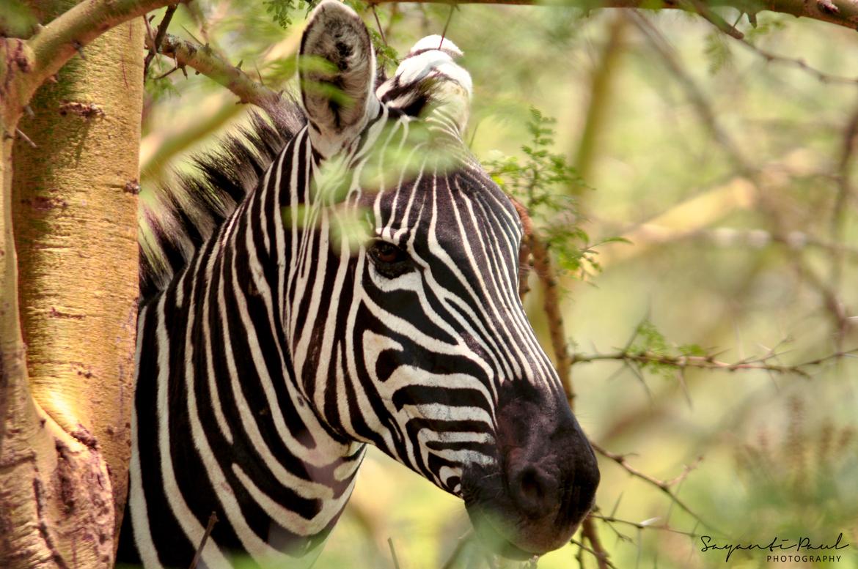 Zebra, Zebras, Kenya, Photos of Zebras Zebra Images