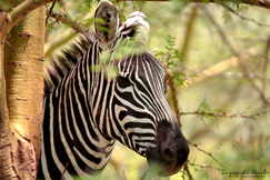 Zebra, Zebras, Kenya, Photos of Zebras Zebra Images