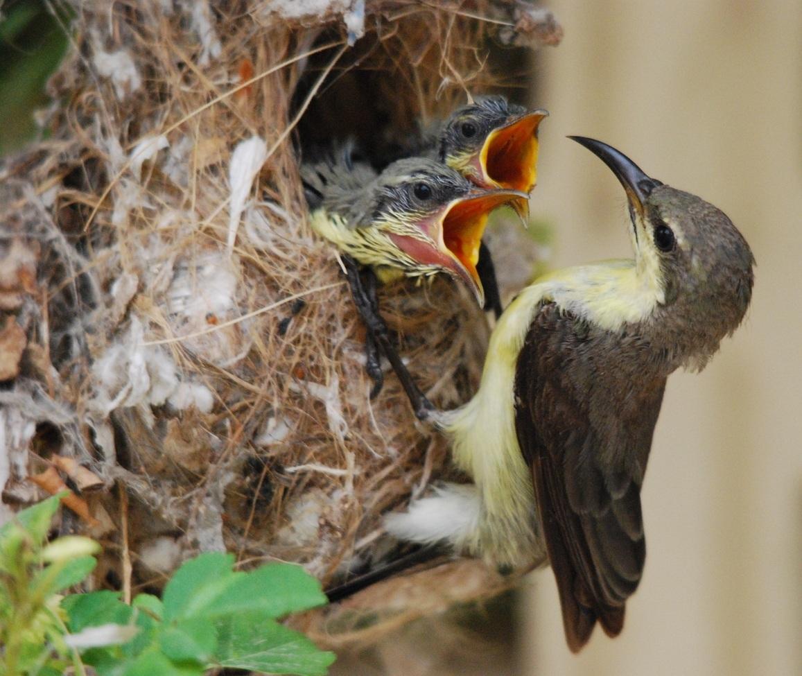 Sunbird, Sunbirds, Purple Sundbird, Pakistan, Photos of Sunbirds, Purple Sunbird Images