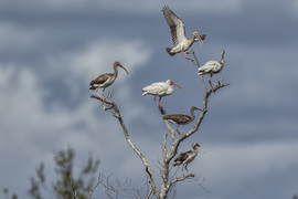 Ibis, White Ibis, Birding, Ibis Images, Photos of Ibis, Florida