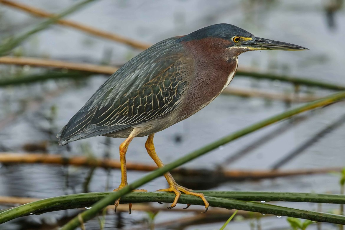 Heron, Herons, Green Heron, Green Herons, Florida, Birding, Images of Green Herons, Green Heron Photos