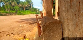 Praying Mantis, Photos of Praying Mantis, Praying Mantis Images, Nigeria