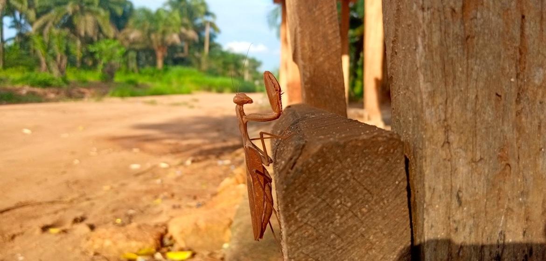 Praying Mantis, Photos of Praying Mantis, Praying Mantis Images, Nigeria