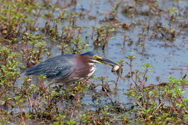 Pennsylvania, Tadpole, Green Heron, Heron, Herons, Middle Creek Wildlife Management Area, Photos of Green Herons, Green Heron Images