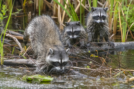 Raccoons, Raccoon, Canada, Photos of Raccoons, Raccoon Images