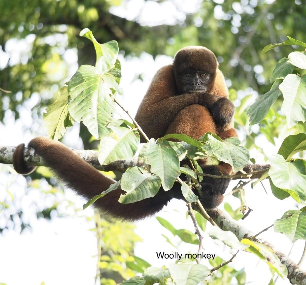 Monkeys, Monkey, Wooly Monkey, Wooly Monkeys, Peru Images of Monkeys, Monkey Photos