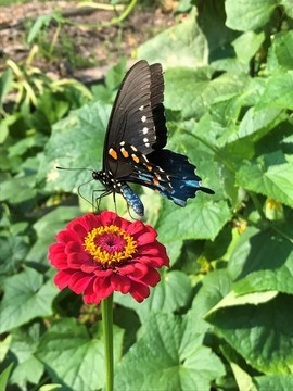 Butterfly, Black Swallowtail. Swallowtail Butterfly, Butterflies, Tennessee, Photos of Swallowtail Butterfly, Butterfly Images