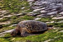 Turtles, Sea Turtles, Sea Turtle, Hawaii, Images of Sea Turtles, Sea Turtle Photos