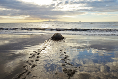 Green Sea Turtle, Sea Turtle, Sea Turtles, East Africa, Itsamia Beach, Comoros, Images of Sea Turtles, Turtle Photos