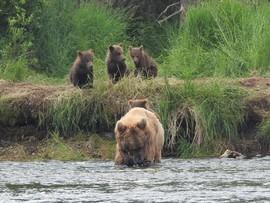 Alaska, Brown Bears, Brown Bear, Grizzly, Grizzlies, Images of Brown Bears, Brown Bear Photos