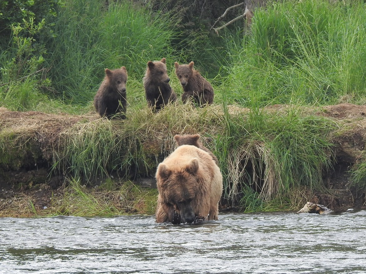 Alaska, Brown Bears, Brown Bear, Grizzly, Grizzlies, Images of Brown Bears, Brown Bear Photos