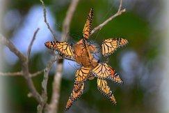 Butterfly, Butterflies, Monarch Butterflies, Missouri, Photos of Monarch Butterflies, Butterfly Images