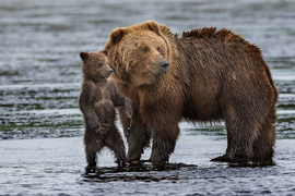 Brown Bears, Brown Bear, Grizzly, Alaska, Photos of Brown Bears, Brown Bear Images