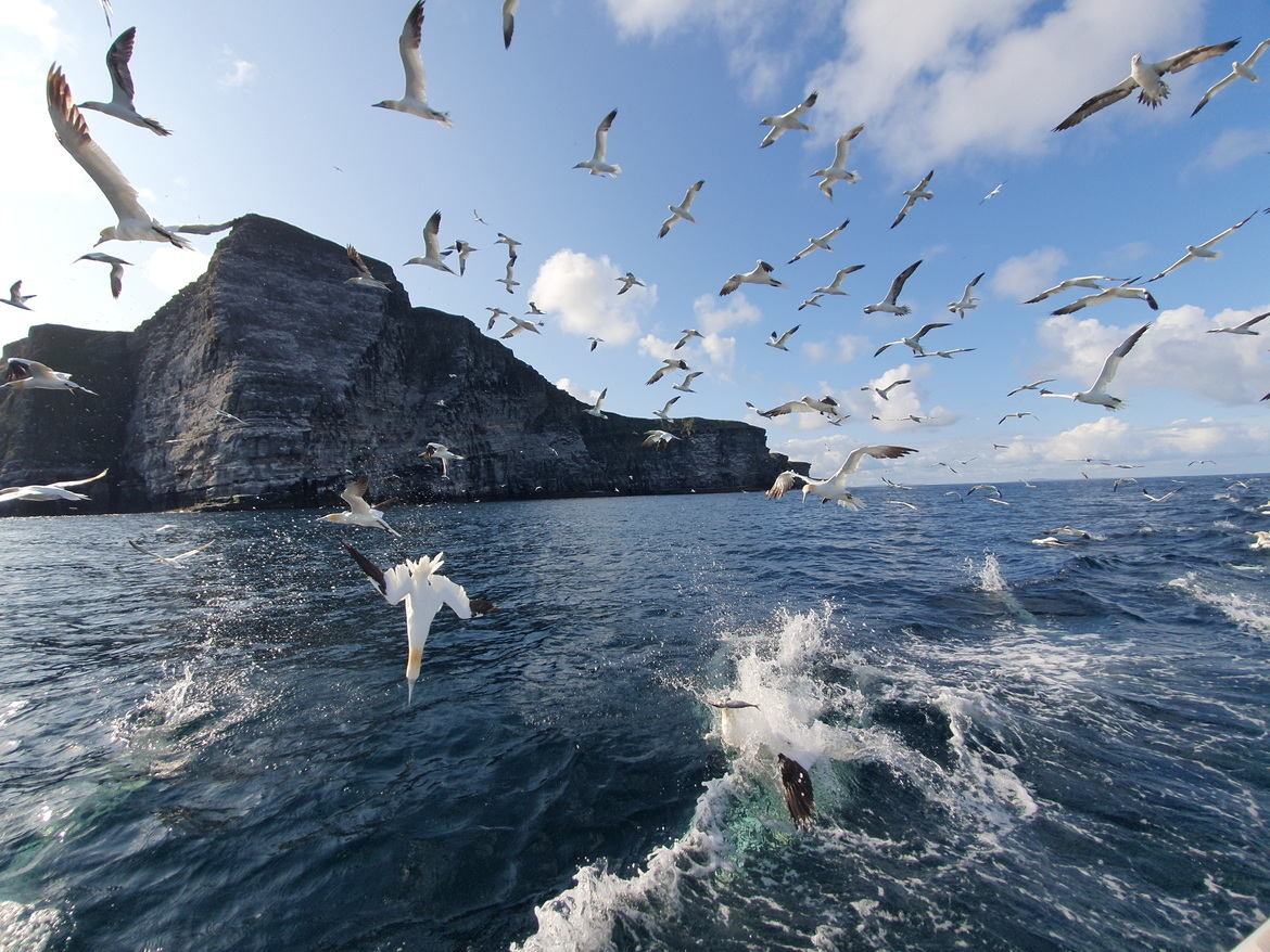 Gannet, Gannets, Birding, United Kingdom, Shetland Coast, Images of Gannets, Gannet Photos