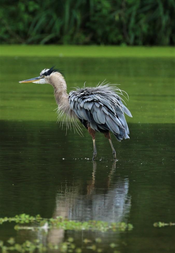 Herons, Great Blue Herons, Kentucky, Heron Images, Photos of Great Blue Herons