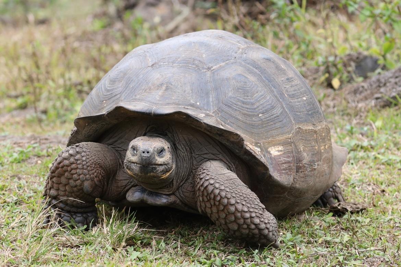 Tortoise, Galapagos Tortoise, Tortoises, Galapagos Islands, Images of Galapagos Tortoises, Tortoise Photos