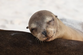 Sea Lion, Sea Lions, Galapagos Islands, Ecuador, Images of Sea Lions, Sea Lion Photos